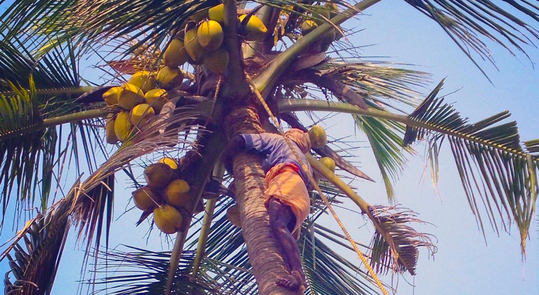 pic-kerala-03-gatheringcoconuts
