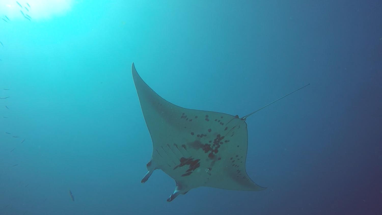 A manta ray in Palau