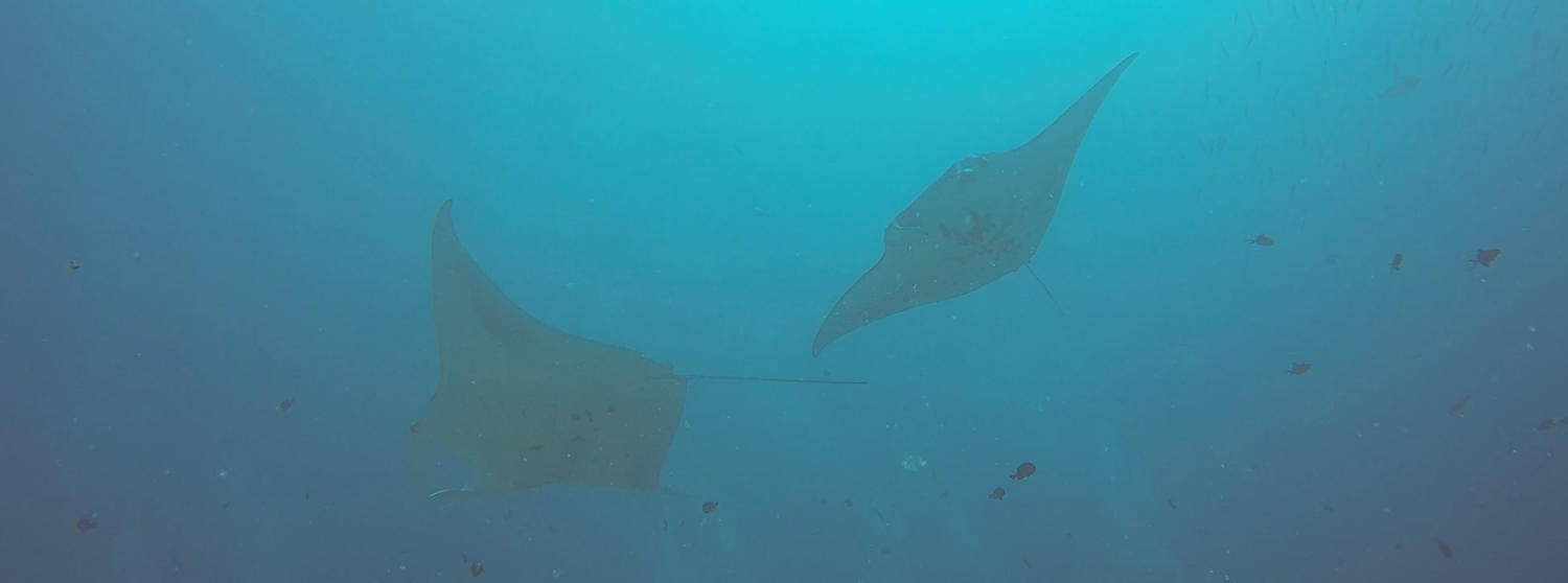 A pair of manta rays