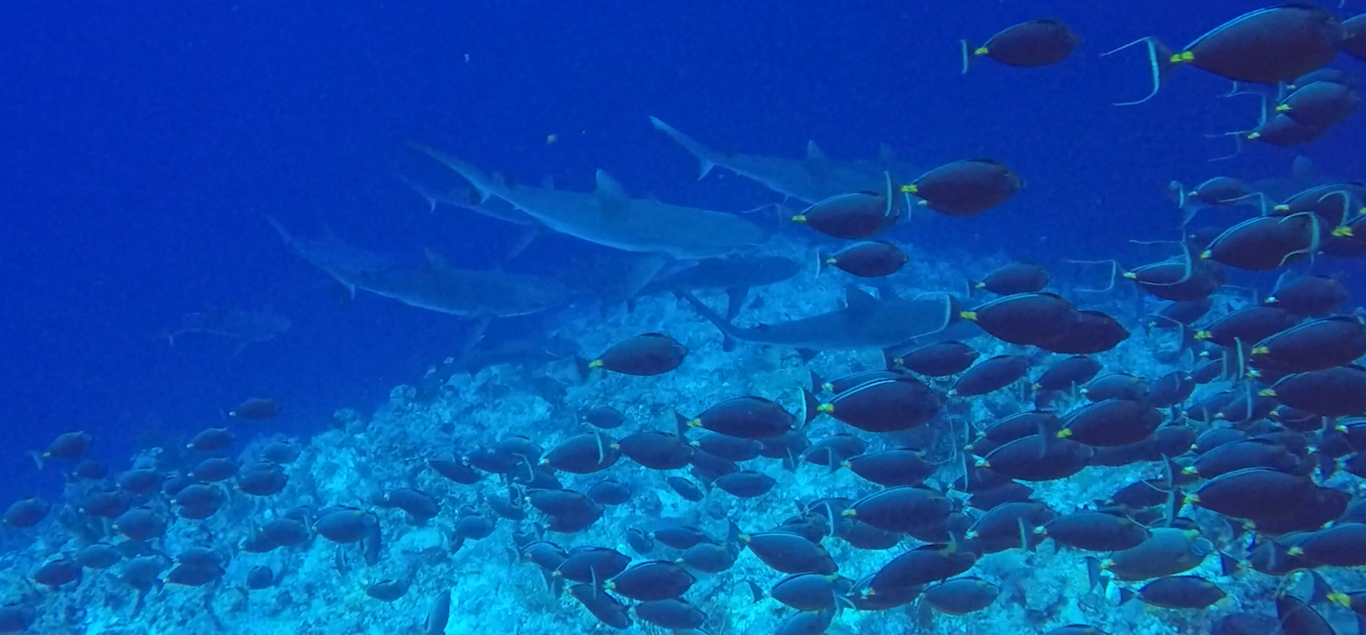 Sharks hunting orange-spine unicornfish