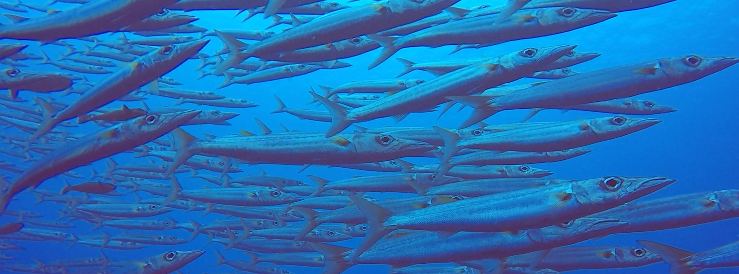A shoal of barracuda
