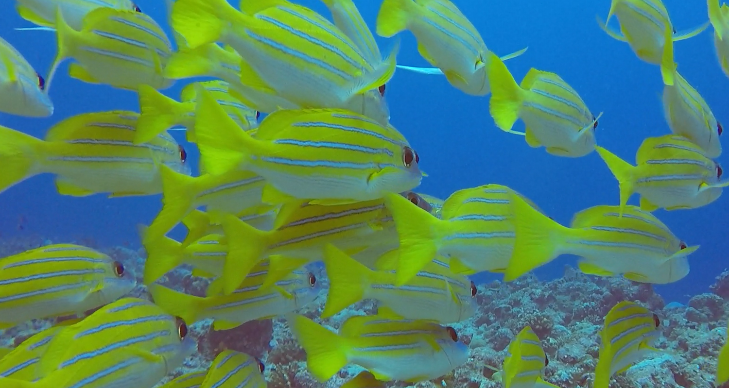 A shoal of bluestripe snapper