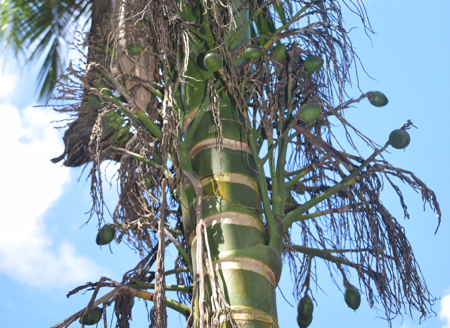 Tree with betel nuts in Yap